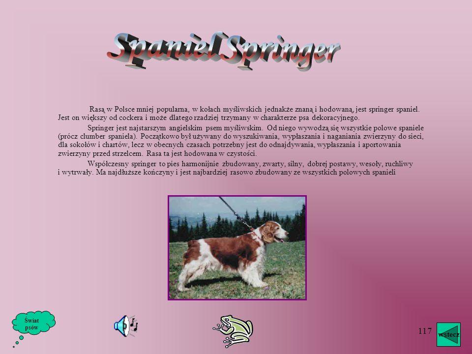 Spaniel Springer