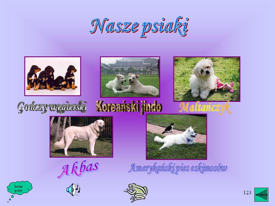 Amerykański pies eskimosów