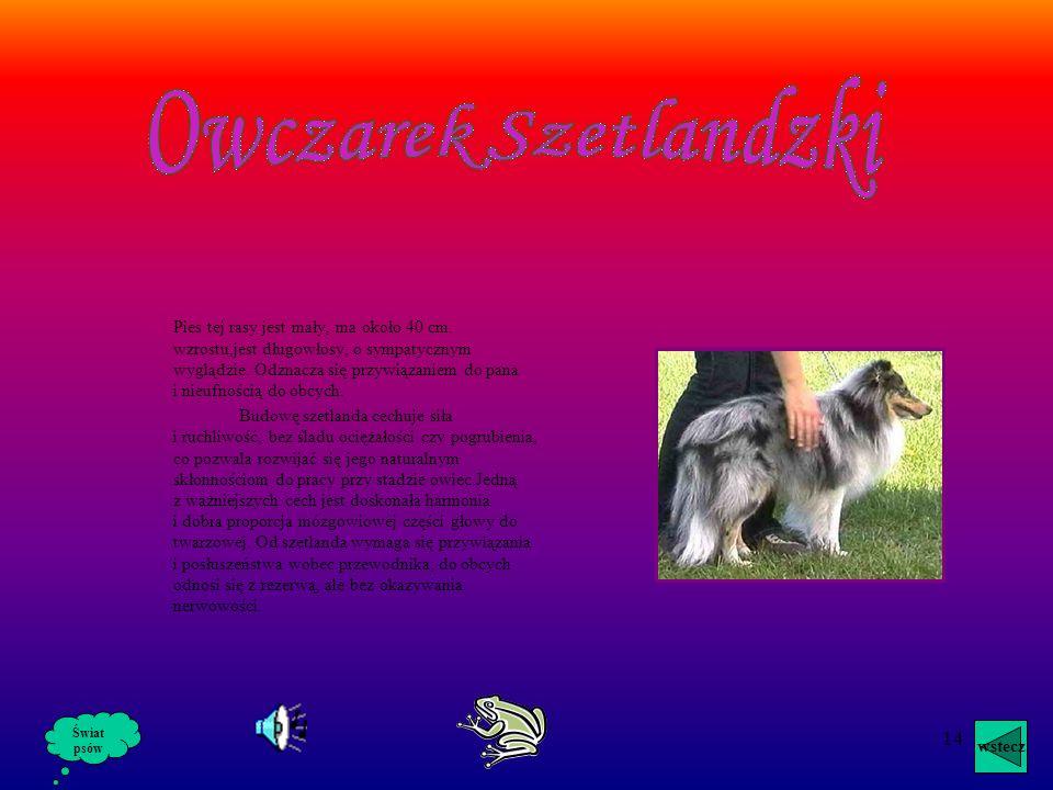 Owczarek Szetlandzki