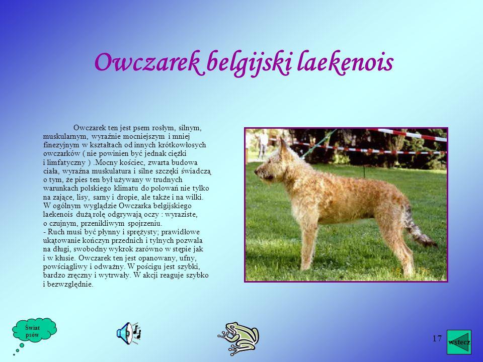 Owczarek belgijski laekenois