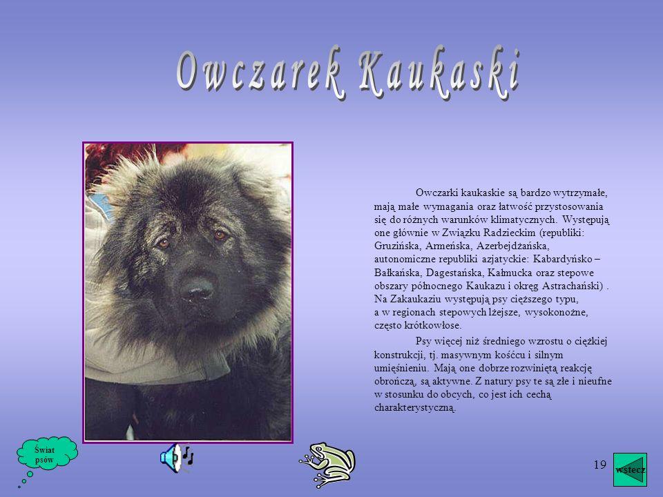 Owczarek Kaukaski