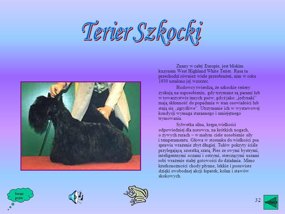 Terier Szkocki