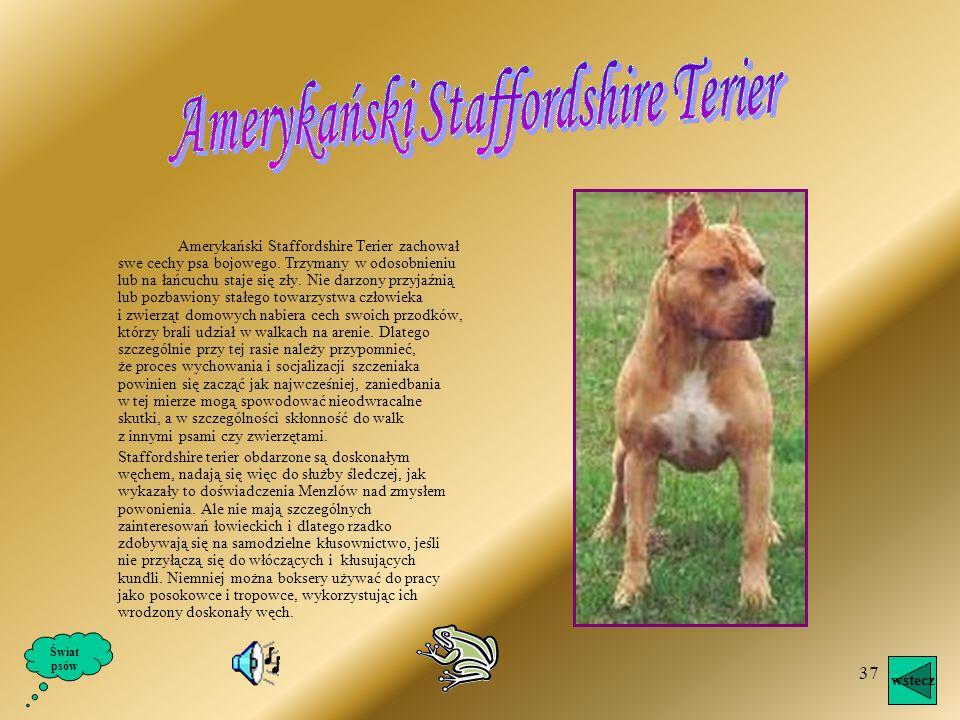 Amerykański Staffordshire Terier