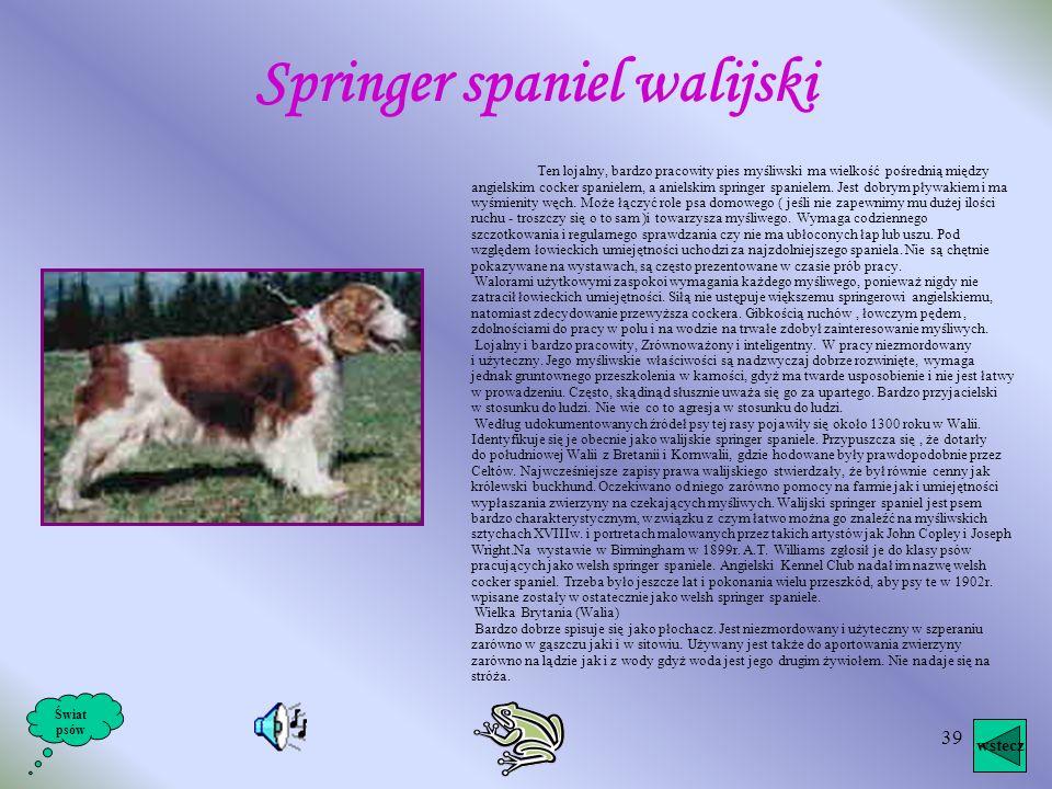 Springer spaniel walijski