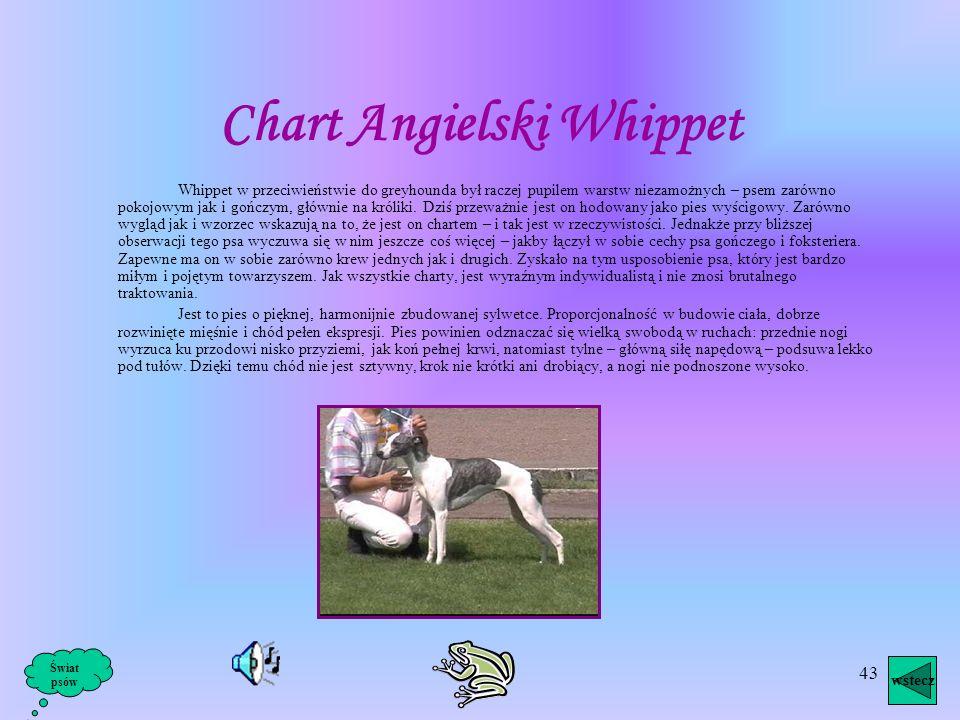 Chart Angielski Whippet