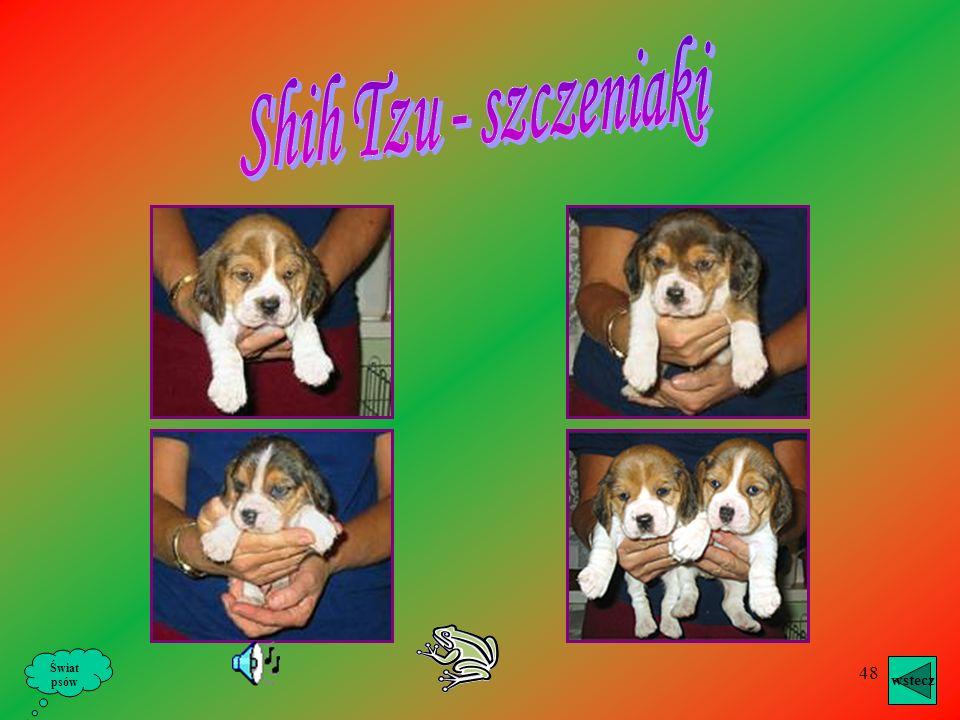 Shih Tzu - szczeniaki Świat psów wstecz