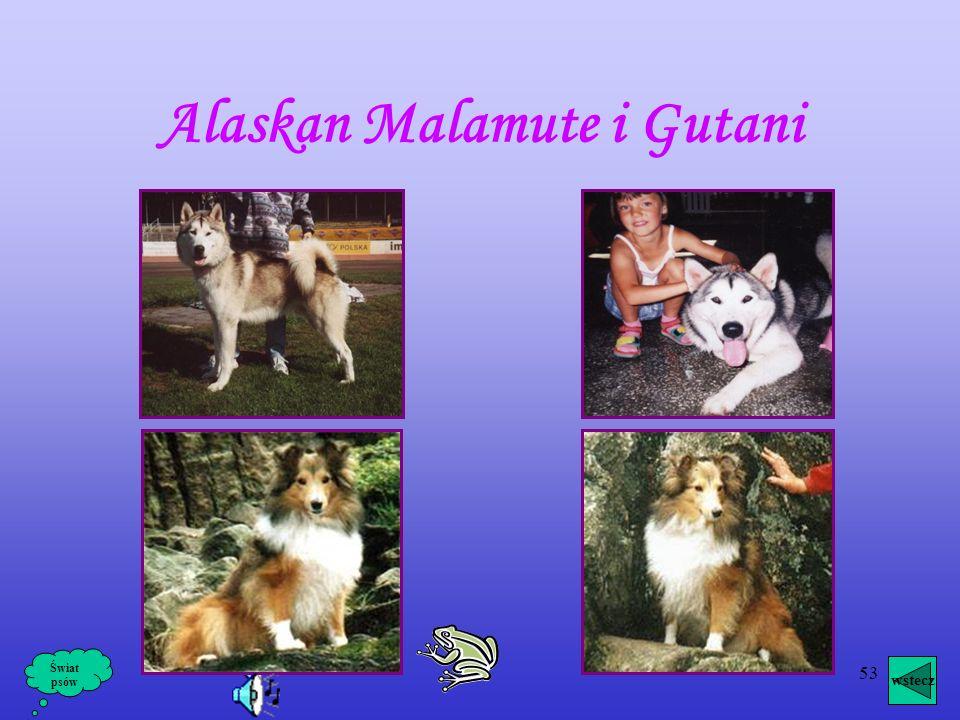 Alaskan Malamute i Gutani