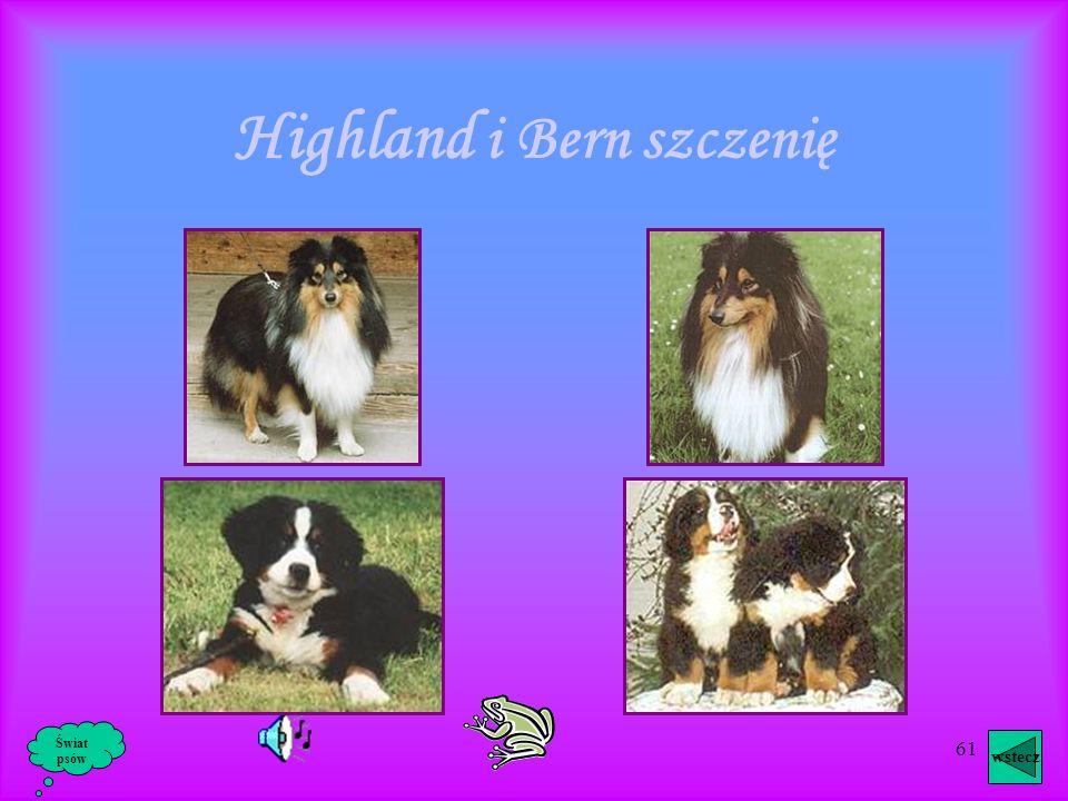 Highland i Bern szczenię