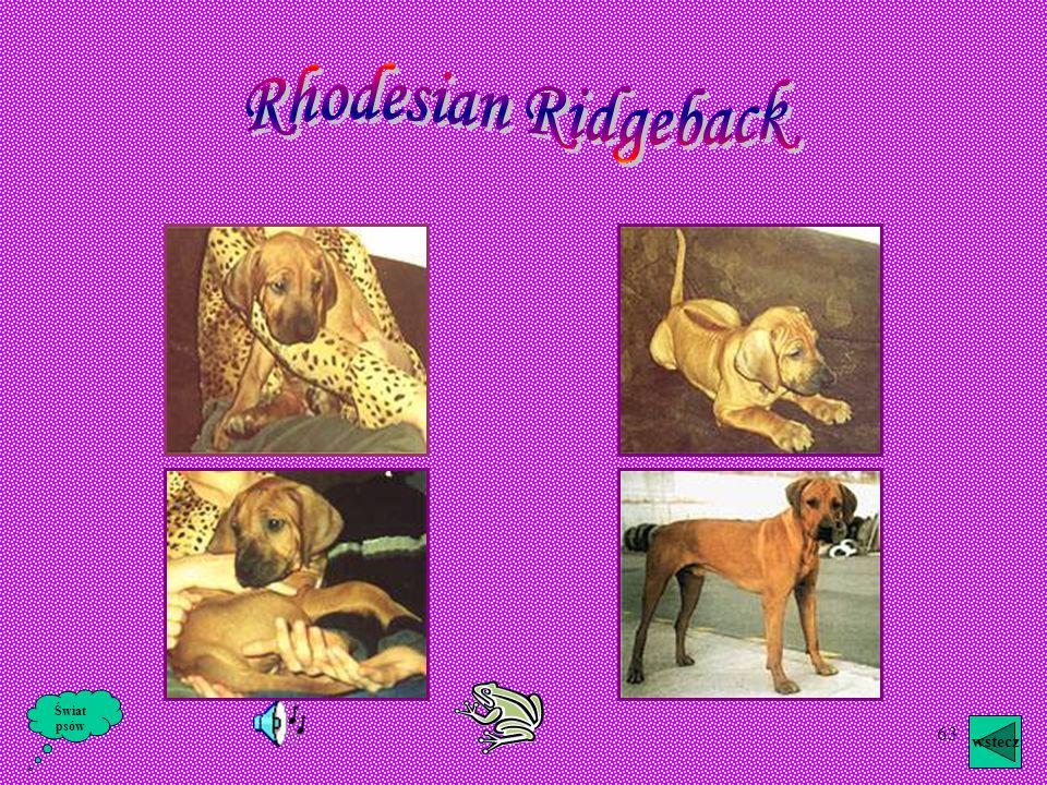 Rhodesian Ridgeback Świat psów wstecz