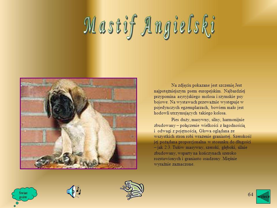 Mastif Angielski