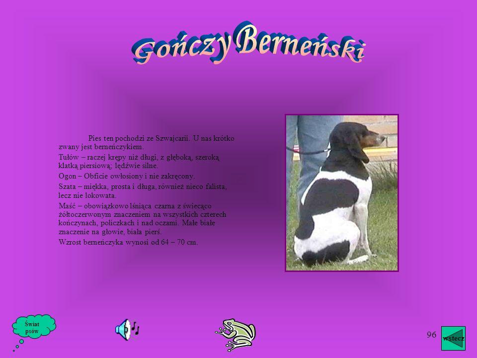 Gończy BerneńskiPies ten pochodzi ze Szwajcarii. U nas krótko zwany jest berneńczykiem.