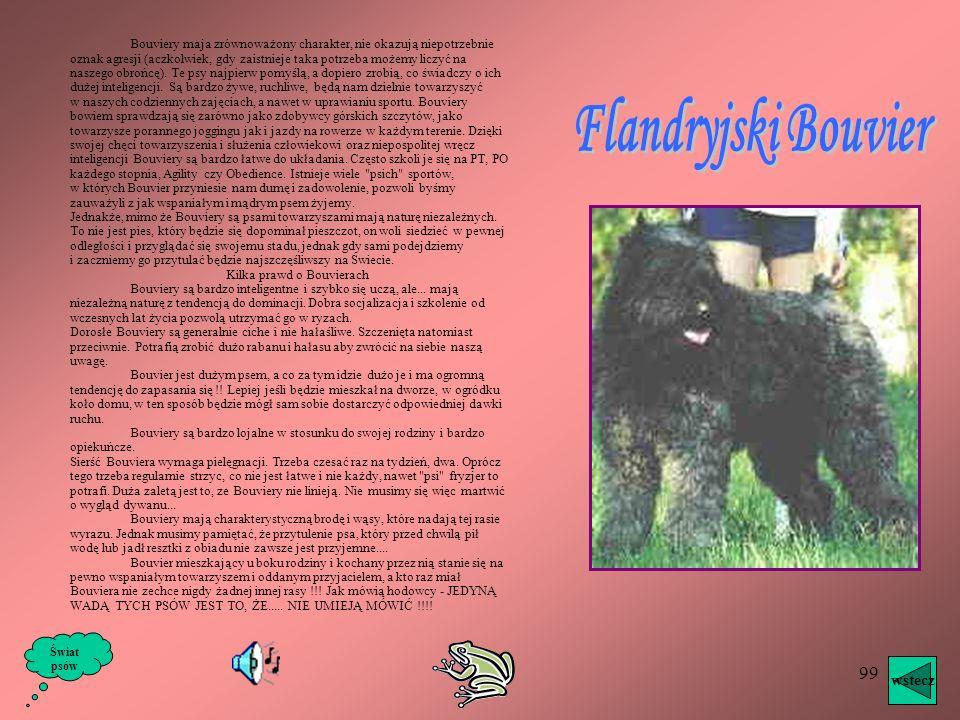 Flandryjski Bouvier wstecz