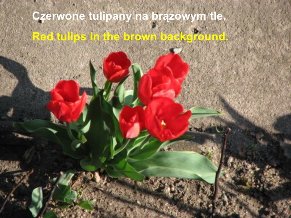 Czerwone tulipany na brązowym tle.