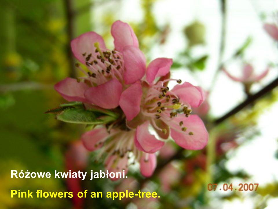 Różowe kwiaty jabłoni. Pink flowers of an apple-tree.
