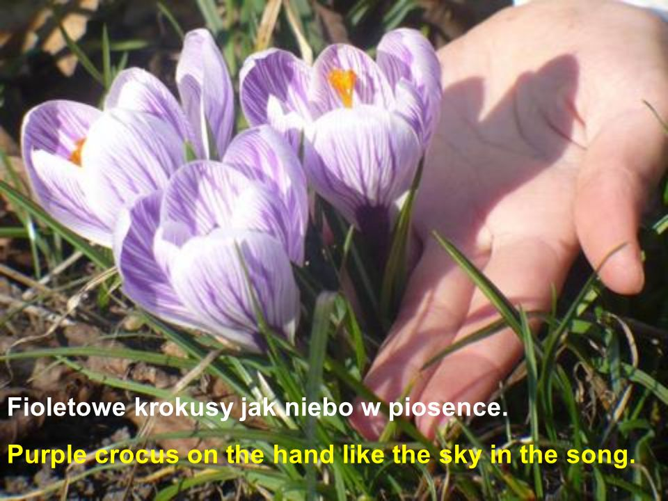 Fioletowe krokusy jak niebo w piosence.