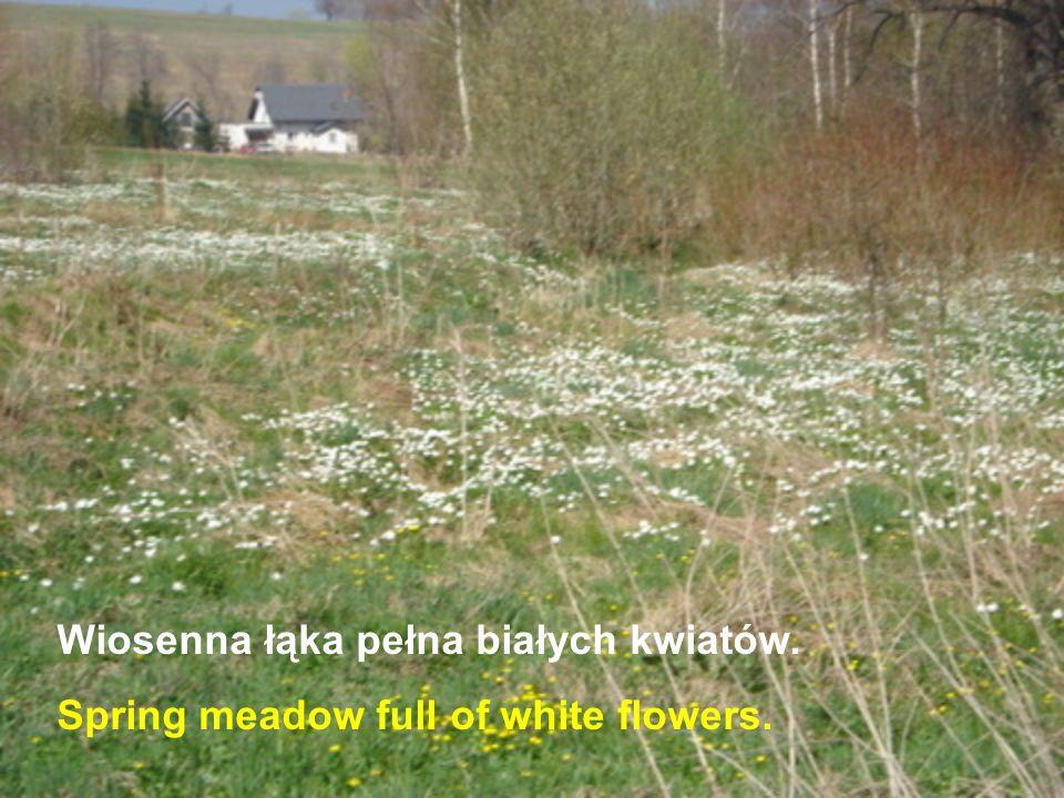 Wiosenna łąka pełna białych kwiatów.