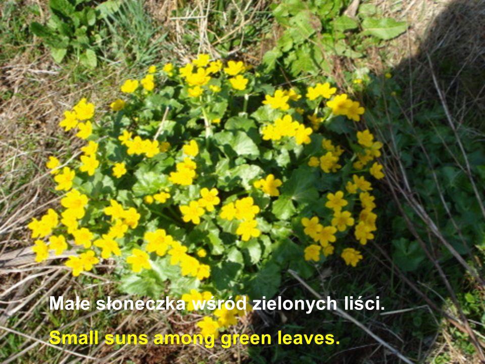 Małe słoneczka wśród zielonych liści.