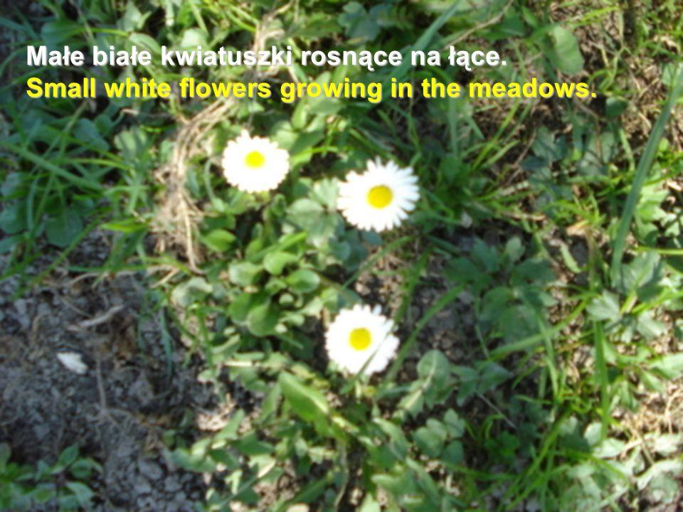 Małe białe kwiatuszki rosnące na łące
