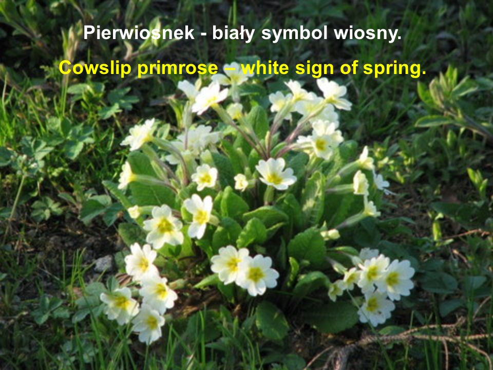 Pierwiosnek - biały symbol wiosny.