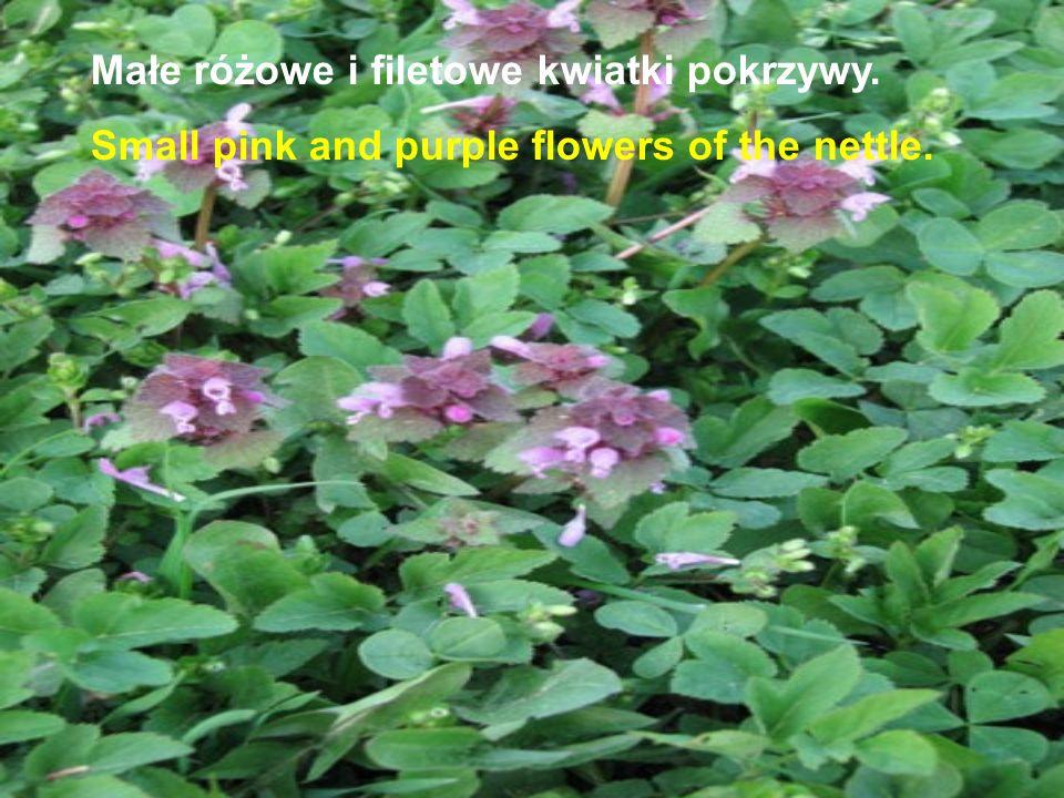 Małe różowe i filetowe kwiatki pokrzywy.