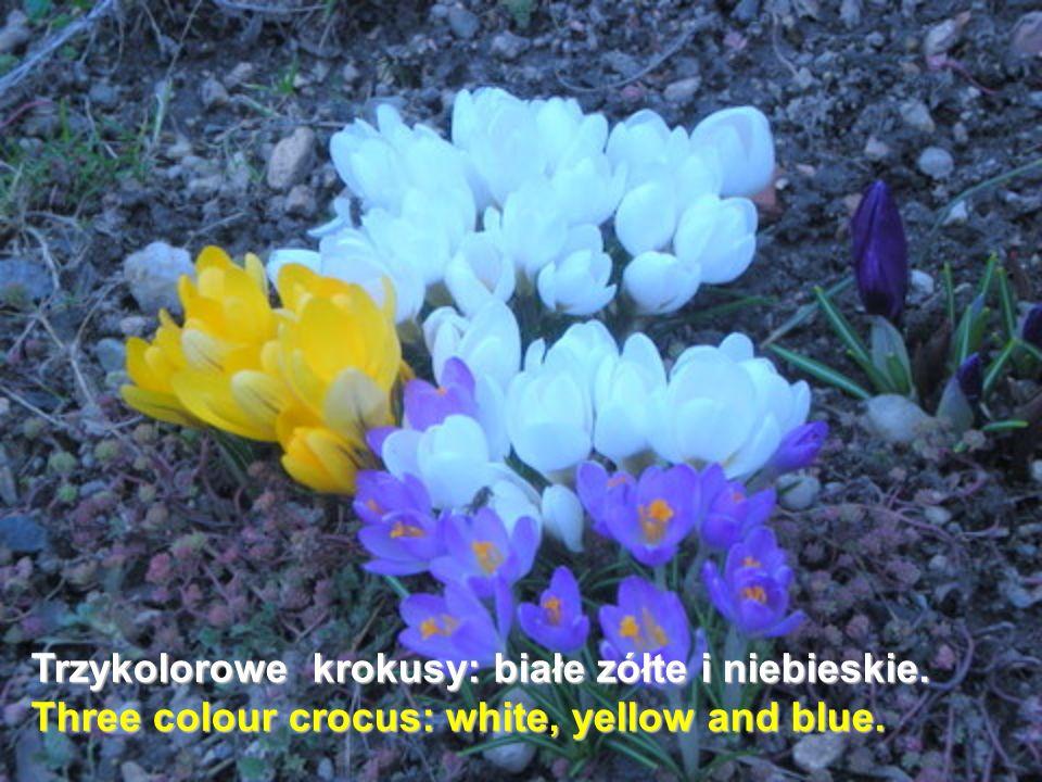 Trzykolorowe krokusy: białe zółte i niebieskie