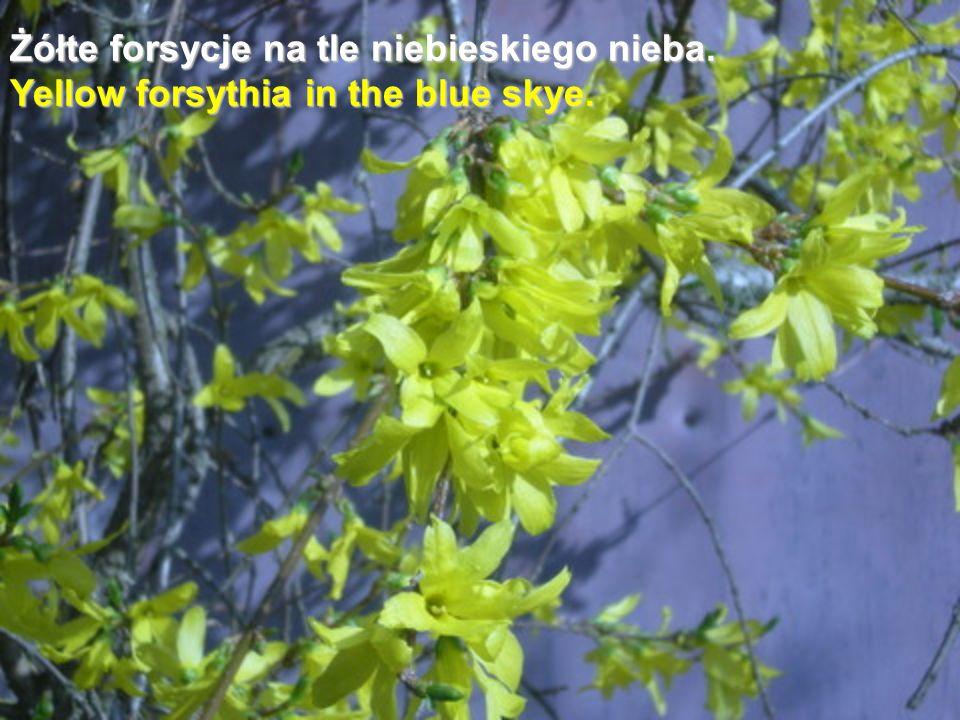 Żółte forsycje na tle niebieskiego nieba