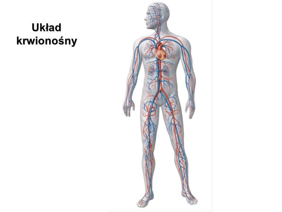 Układ krwionośny