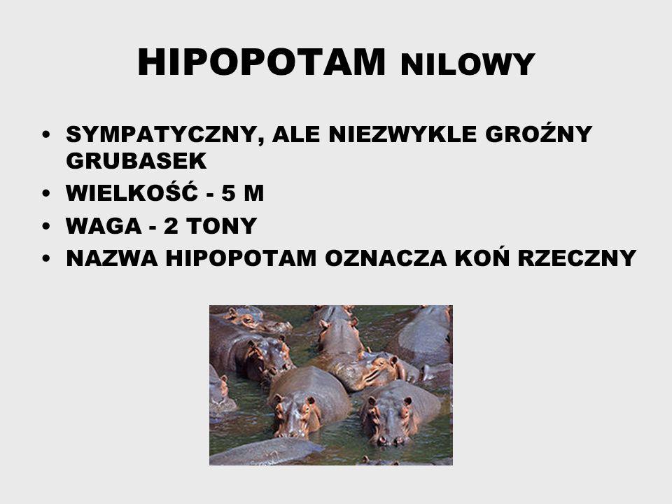HIPOPOTAM NILOWY SYMPATYCZNY, ALE NIEZWYKLE GROŹNY GRUBASEK