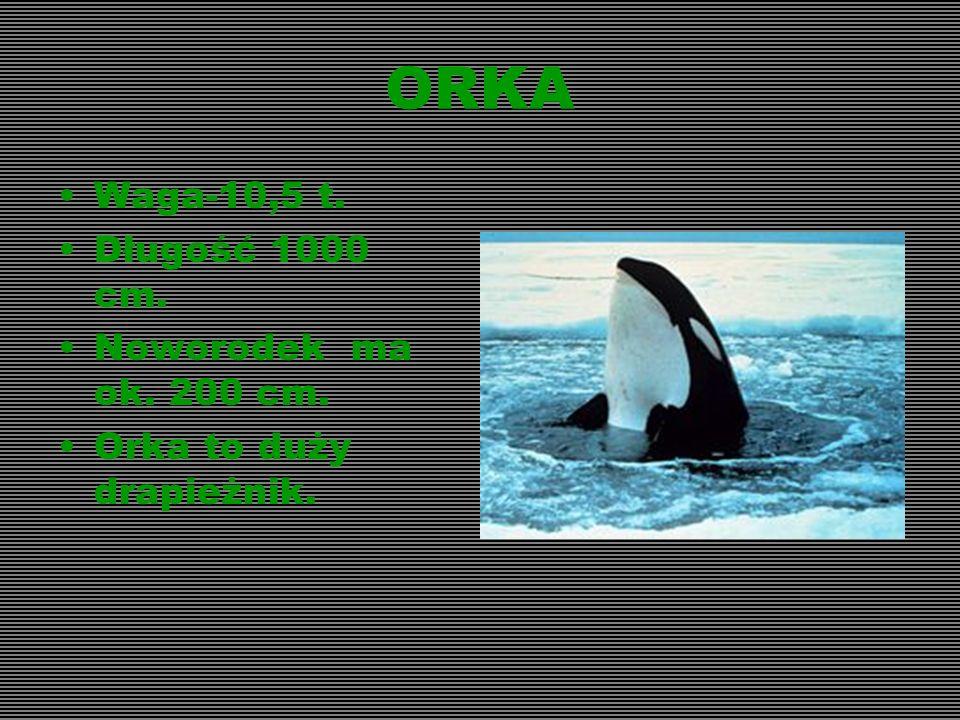 ORKA Waga-10,5 t. Długość 1000 cm. Noworodek ma ok. 200 cm.