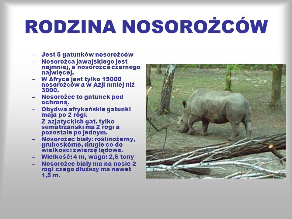 RODZINA NOSOROŻCÓW Jest 5 gatunków nosorożców