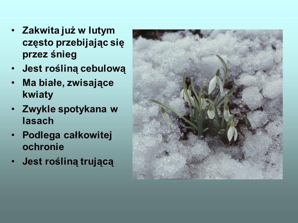 Zakwita już w lutym często przebijając się przez śnieg