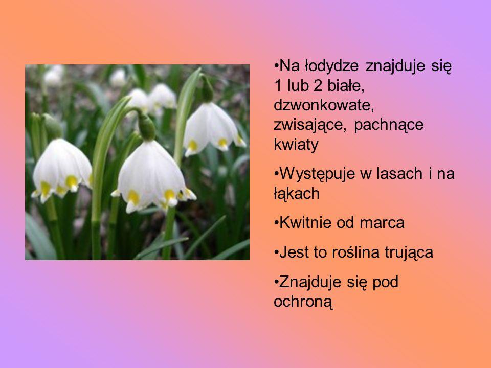 Na łodydze znajduje się 1 lub 2 białe, dzwonkowate, zwisające, pachnące kwiaty