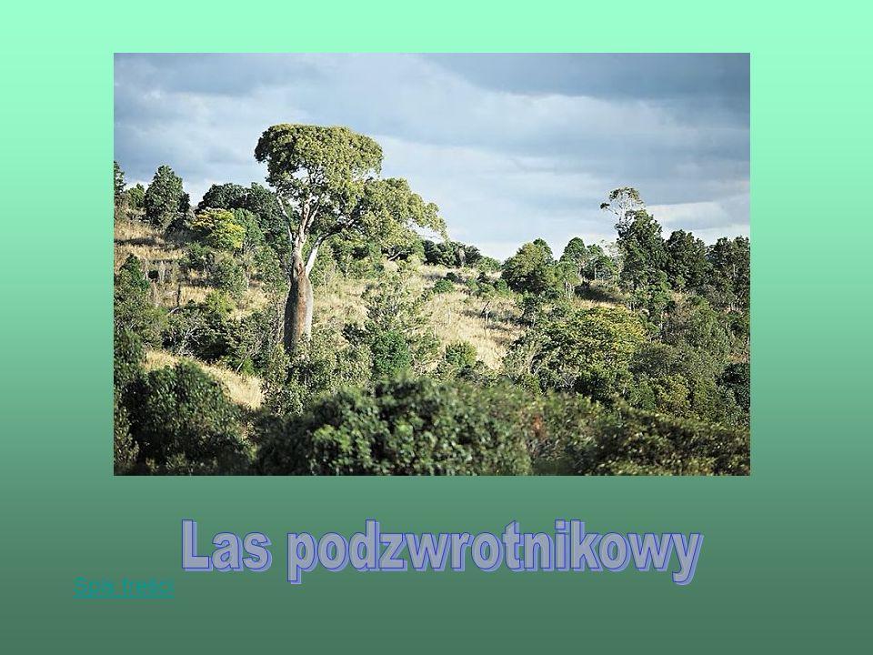 Las podzwrotnikowy Spis treści