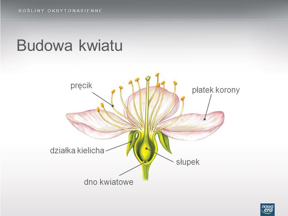 Budowa kwiatu pręcik płatek korony działka kielicha słupek