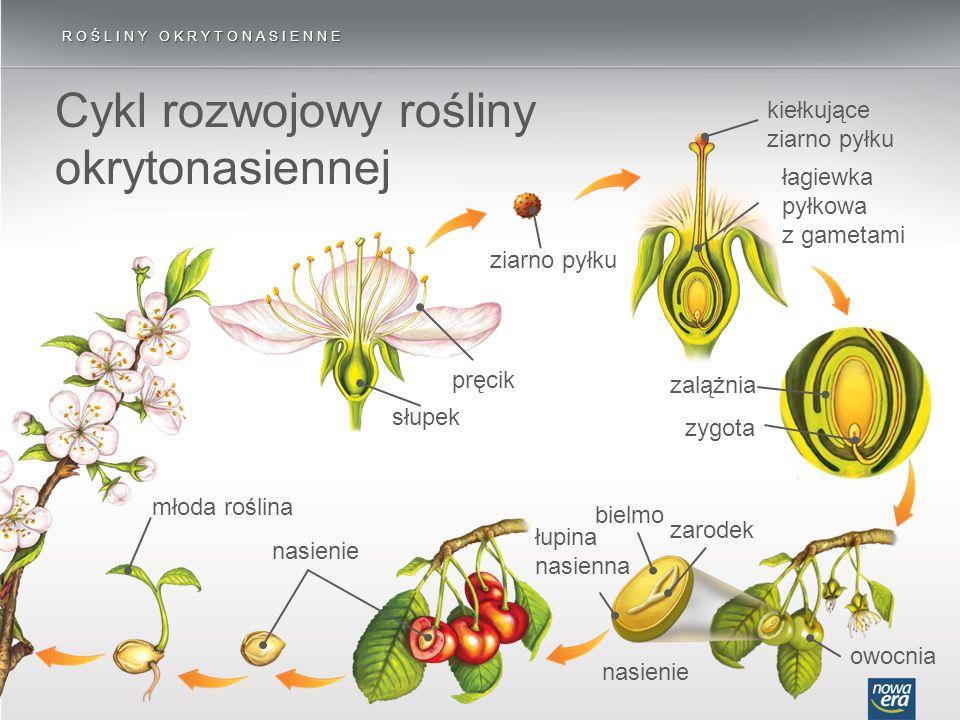 Cykl rozwojowy rośliny okrytonasiennej