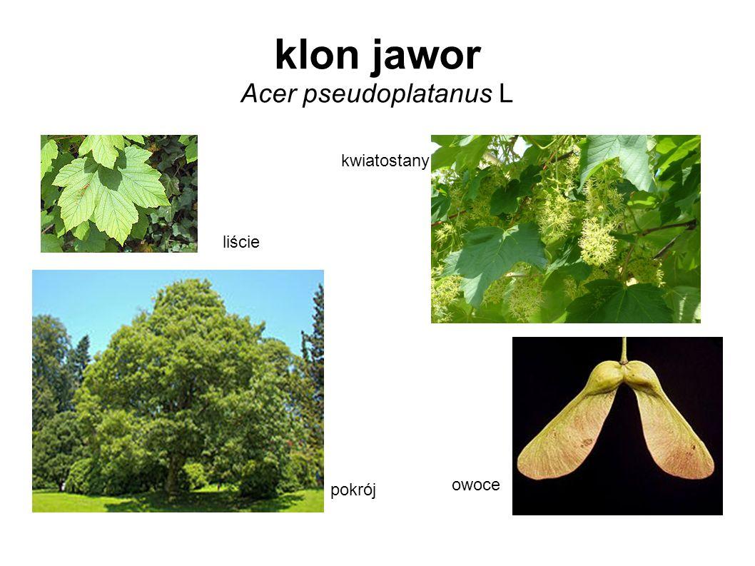 klon jawor Acer pseudoplatanus L