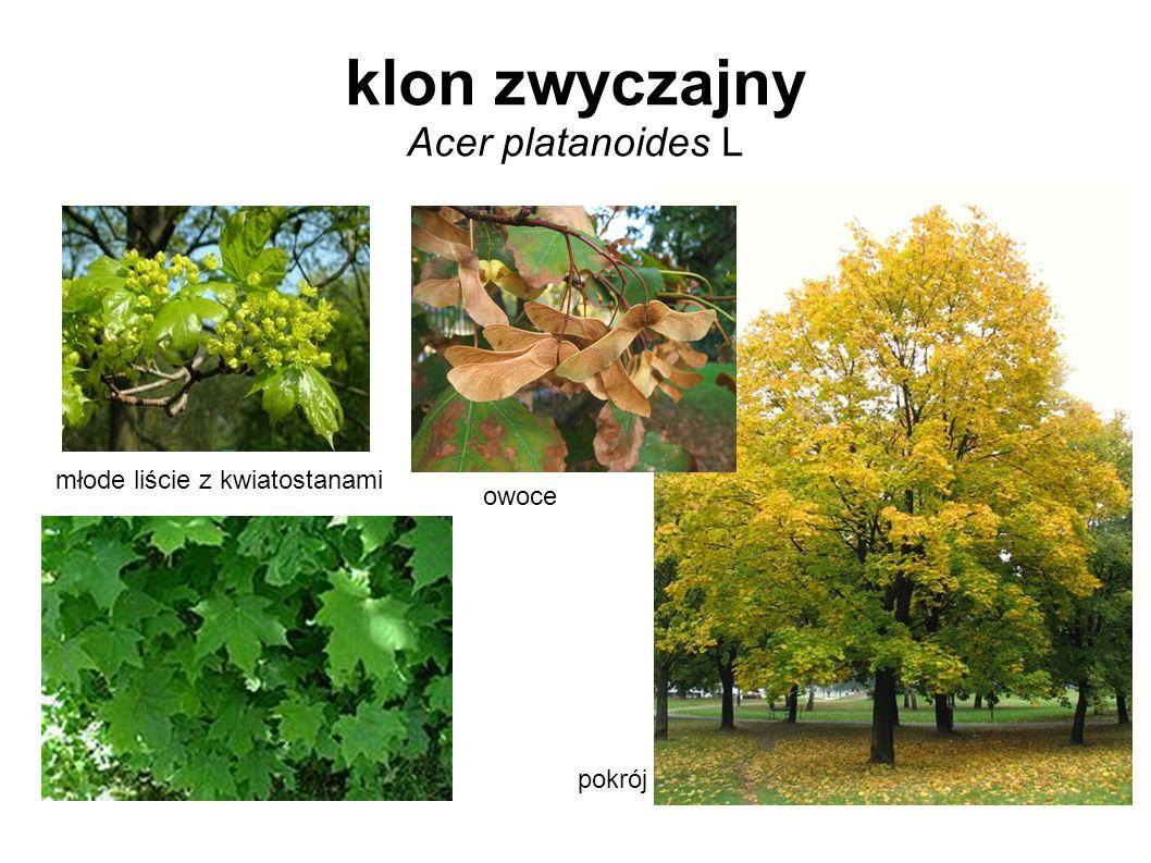klon zwyczajny Acer platanoides L