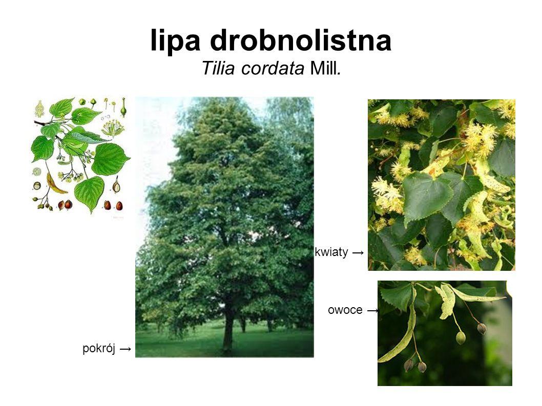 lipa drobnolistna Tilia cordata Mill.