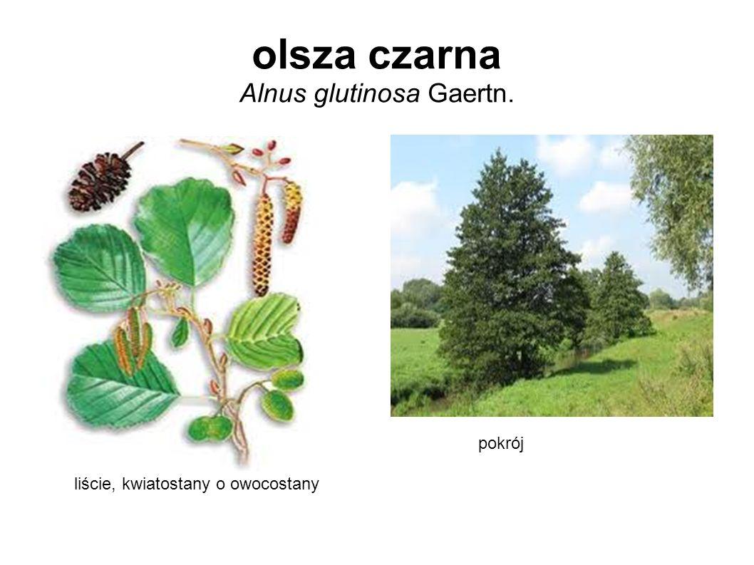 olsza czarna Alnus glutinosa Gaertn.