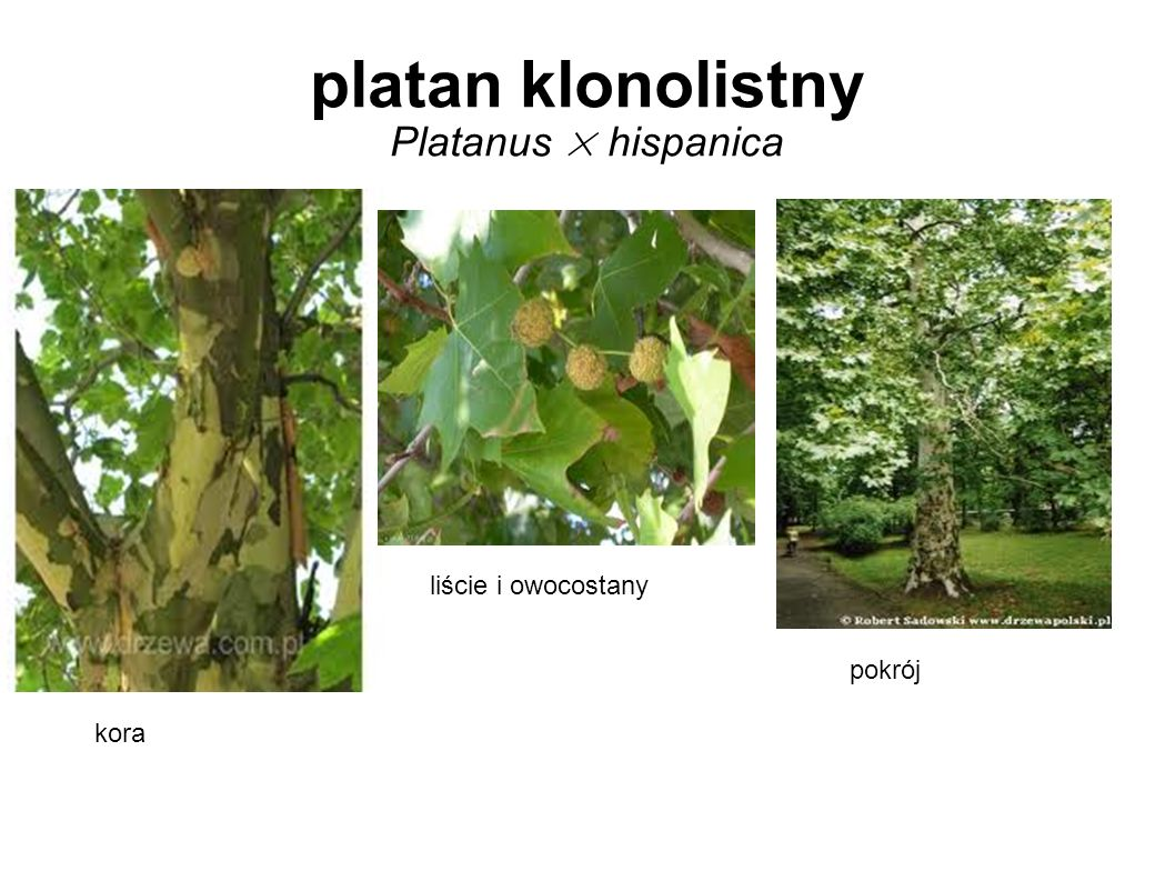 platan klonolistny Platanus × hispanica