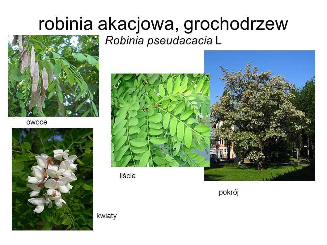 robinia akacjowa, grochodrzew Robinia pseudacacia L