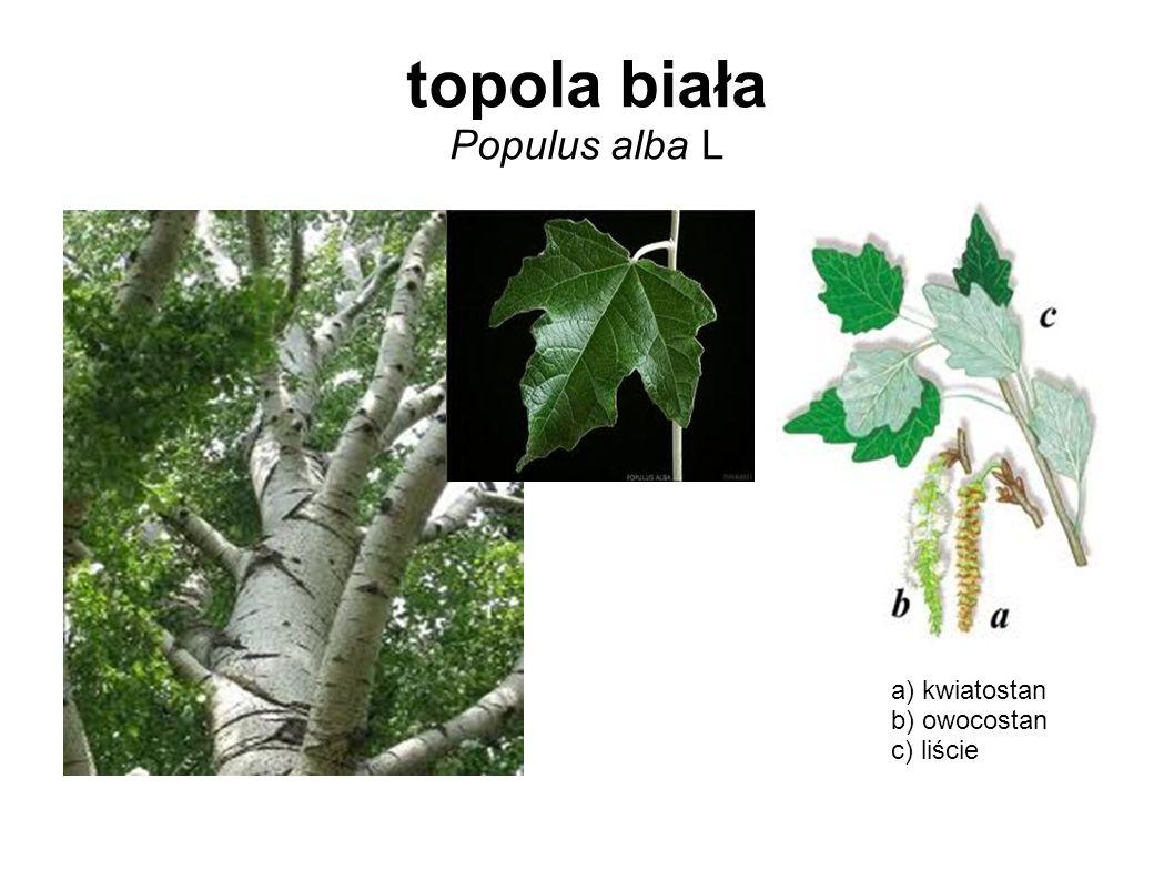 topola biała Populus alba L