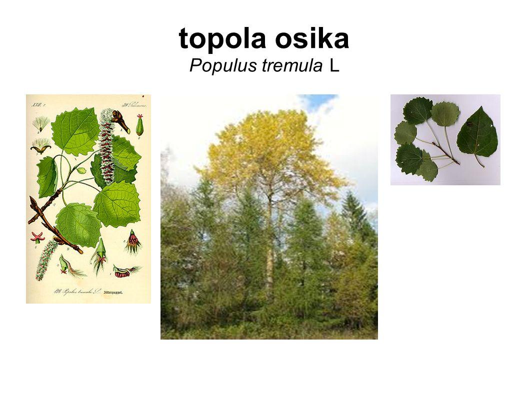 topola osika Populus tremula L