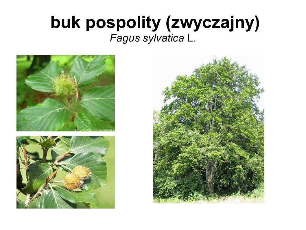 buk pospolity (zwyczajny) Fagus sylvatica L.
