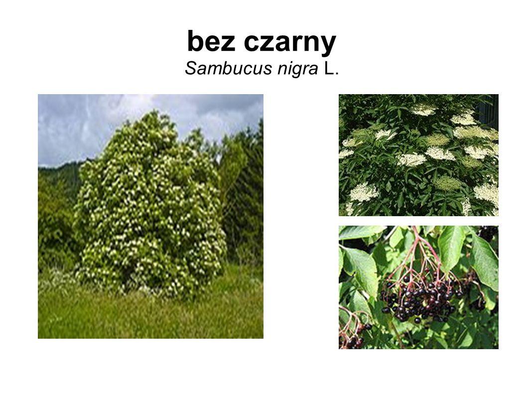 bez czarny Sambucus nigra L.