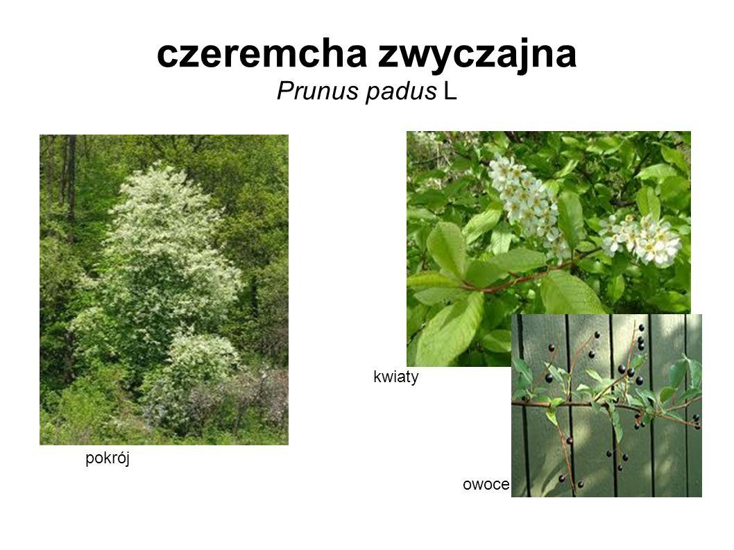 czeremcha zwyczajna Prunus padus L