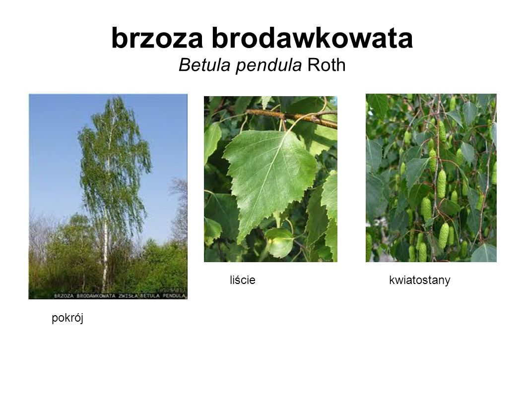 brzoza brodawkowata Betula pendula Roth