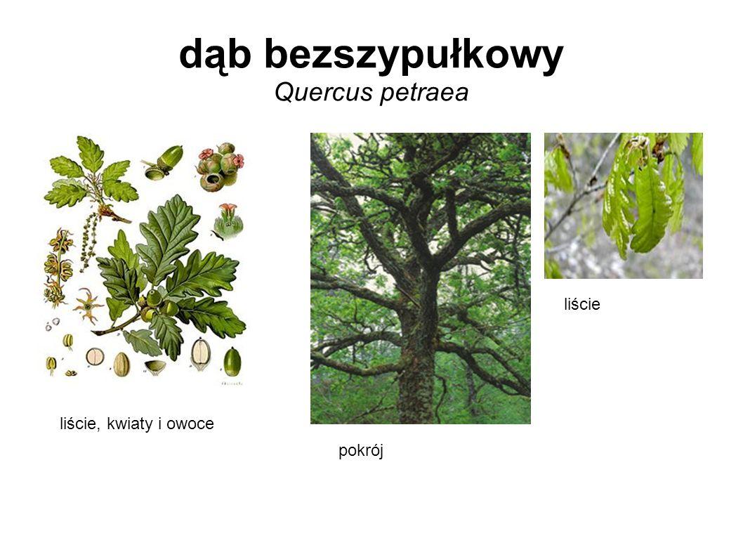 dąb bezszypułkowy Quercus petraea