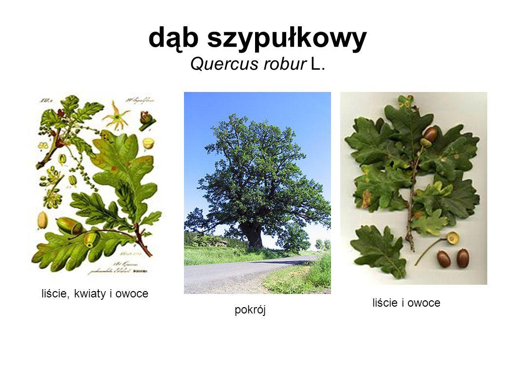 dąb szypułkowy Quercus robur L.