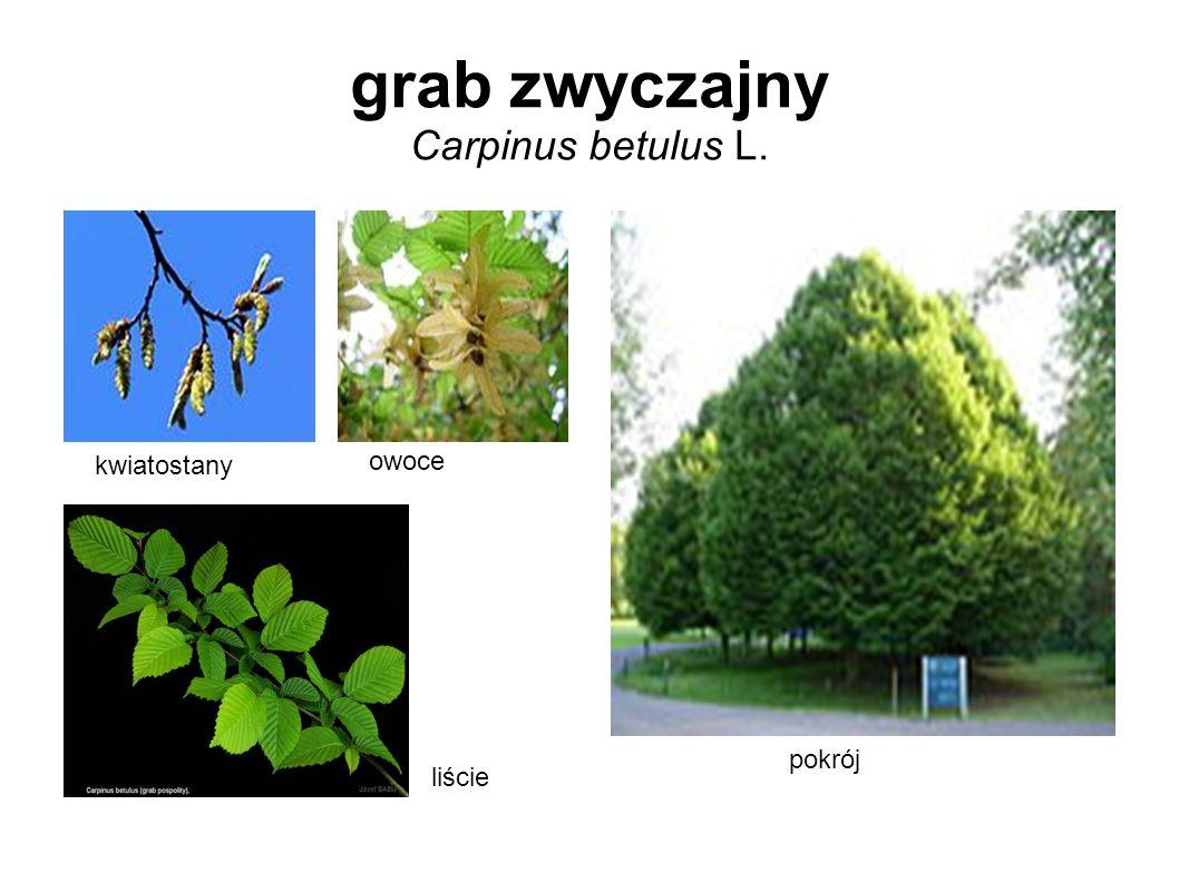grab zwyczajny Carpinus betulus L.